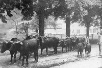 Cherry Brook Park - driving cattle to the fair