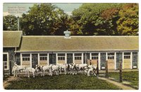 Ayshire Calves, Branford Farms, Groton