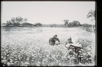 Ada Newbury and Perkins cousins in daisy field