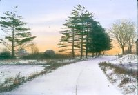White Pines in Snow