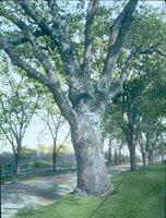 Great Oak at Oaklawn Cemetery